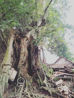 Misteri pohon Angsana di pagaden barat